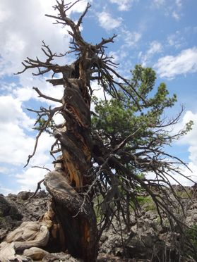 Siberian pine tree with spiral growth growing on the Uurgat Lava field in Mongolia